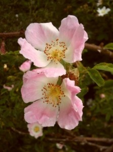 Dog-roses growing in a hedgerow on the Welcombe hills