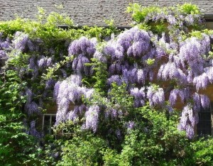 Wisteria growing on a Cotswold wall