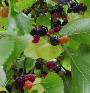 Berries growing on Shakespeare's mulberry