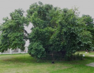 The oldest of the mulberry trees