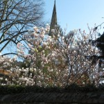 A Magnolia at Avonside by Holy Trinity Church