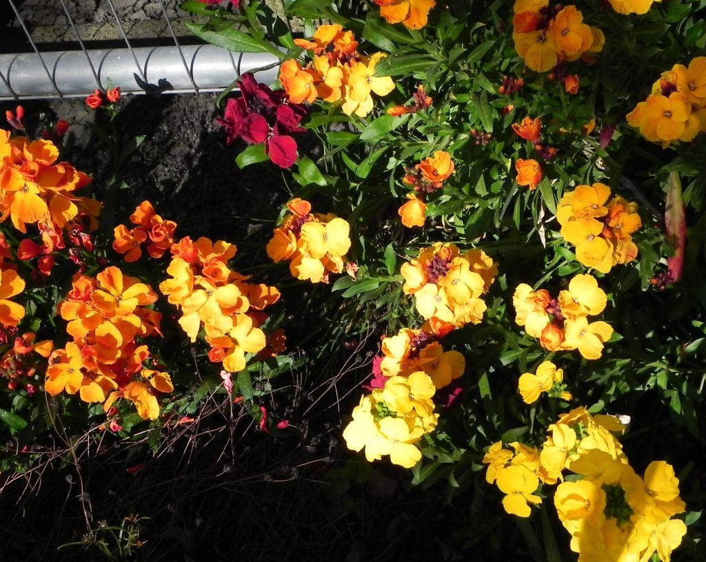 DSCN6469wallflowers