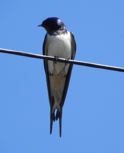 A swallow at Mary Arden's House