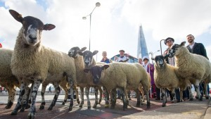 The Sheep Drive 2015